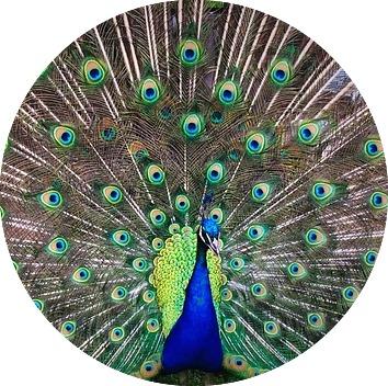 peacock-1246843_640